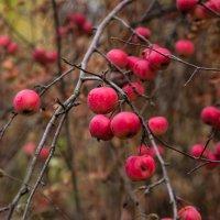 яблочки(наверное китайка) :: Наталья Макарова