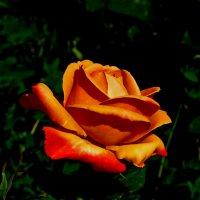Нежной розы огненный бутон. :: Наталья Джикидзе (Берёзина)