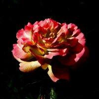 Роза красная цвела гордо и неторопливо. :: Наталья Джикидзе (Берёзина)