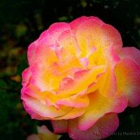 Роза :: Мадина Девеева
