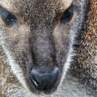 Фотопортрет кенгуру :: Milocs Морозова Людмила