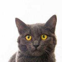 Ёська-приблудная кошка в фотостудии :: Лейла Заикина