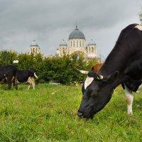 коровы :: Дмитрий Часовитин