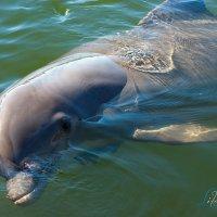 Любопытный дельфин :: Lika Shakhmatova