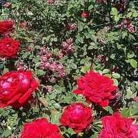 Розовое изобилие :: Нина Корешкова