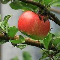 Наливное яблочко. :: Маргарита ( Марта ) Дрожжина
