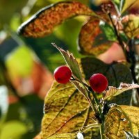 Осенние ягоды :: Владимир Бровко