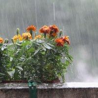 Осень.Дожди. Последние уличные цветы... :: Вячеслав