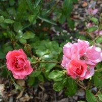 Розовые прелестницы :: Ольга