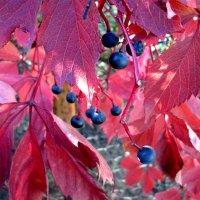 Багряные листья и синие ягоды... :: Тамара (st.tamara)
