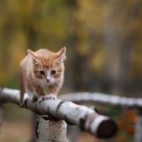 тигр :: Елена Яковлева