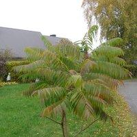 Молодое уксусное дерево . :: laana laadas