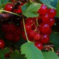 Северный виноград :: Svetlana27