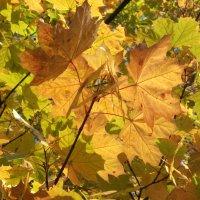 Кленовая осень :: Арина