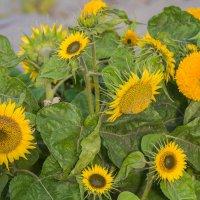 Осенние цветы :: Дмитрий Сушкин