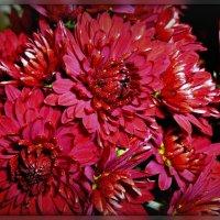 Горит глазами хризантемы октябрь :: galina tihonova