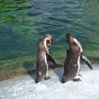 Пингвины :: Lyubov Zomova