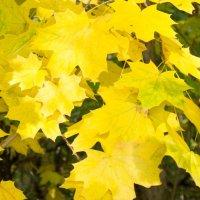 кленовые листья :: Таня Кулешова