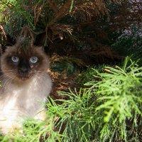 Кот в можевельнике :: Олег Каплун