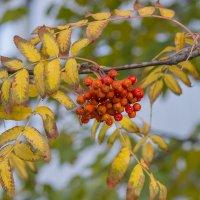 В саду горит костер рябины красной... :: Марина Назарова