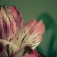 Macro/flower :: Lasc1vo Артёмин