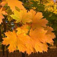 Кленовые листья :: Наталья Чуфистова