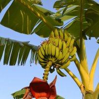 Так растут бананы. :: Сергей Тимошенко