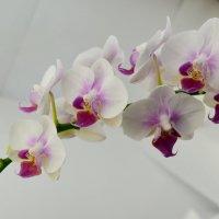 orchi v :: Вероника Галтыхина