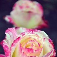 Rose :: An Alexandra Faller