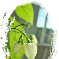 Нежность цветка Мадам Томсон :: Лидия (naum.lidiya)
