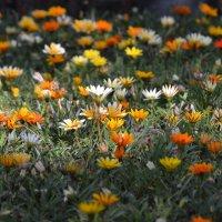 gardenia. :: Давид Капанадзе