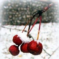 Яблочки в снегу. :: Мила Бовкун