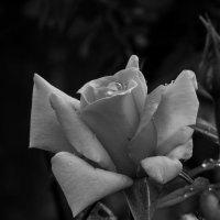 утренняя роза :: Денис Сидельников