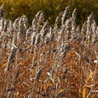 Осенний камыш шумит, качаясь на верту. :: Владимир Гилясев