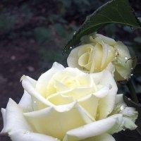 Белая роза :: Алексей Каравайцев