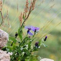 горные цветы :: Светлана Кажинская
