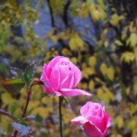 Розы Сретенского монастыря. Осень. :: Галина