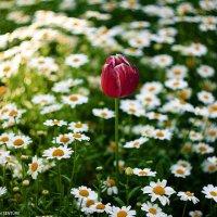 çiçekler :: Selman Şentürk