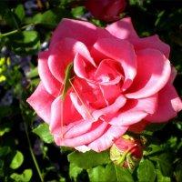 Влюбленный в розу :: Татьяна Пальчикова