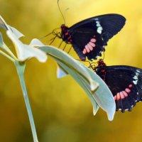 Бабочки :: оля san-alondra