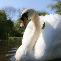 Белый Лебедь На Пруду :: Вадим Вайс