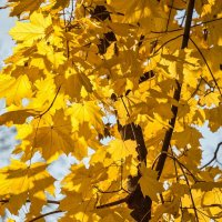 Желтые листья :: Ирина Токарева