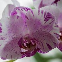 Орхидея фаленопсис Жемчужина Тейды :: Ирина Приходько