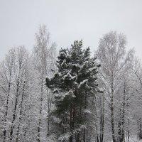 Сосна :: Людмила Монахова