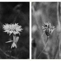 Цветы :: Евгения Досина