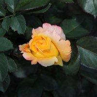 Роза :: Андрей