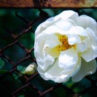 Белая роза :: Алексей Трофимов