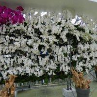 орхидеи :: Александр Корчемный