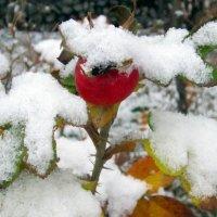 Шиповник под снегом . :: Мила Бовкун