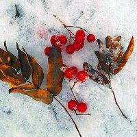 рябина на снегу :: Сергей Кочнев